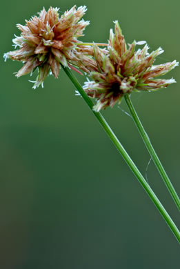 image of Bulbostylis barbata, Old World Hairsedge