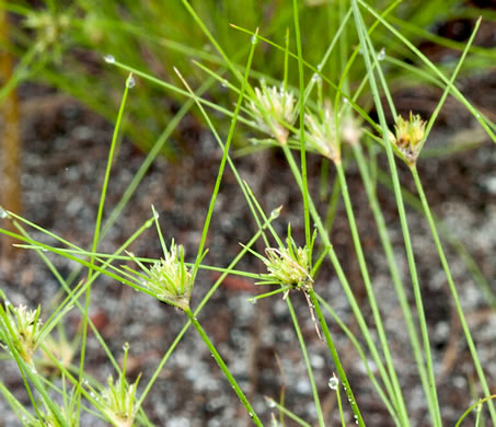 image of Bulbostylis stenophylla, sandy field hairsedge