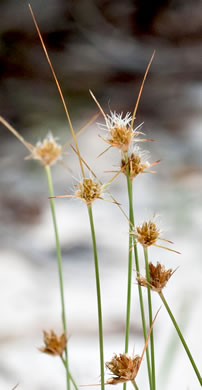 flower of Bulbostylis warei, Ware's Hairsedge