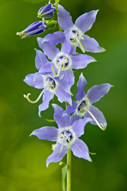 image of Campanula americana, Tall Bellflower