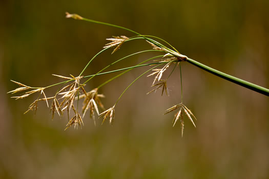 spikes: Cyperus articulatus, jointed flatsedge