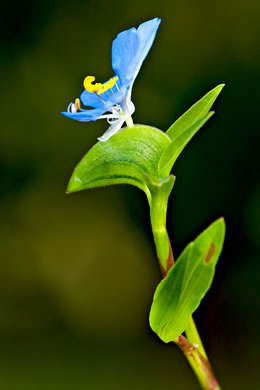 spathe: Commelina erecta var. angustifolia, Commelina erecta var. angustifolia, Commelina erecta