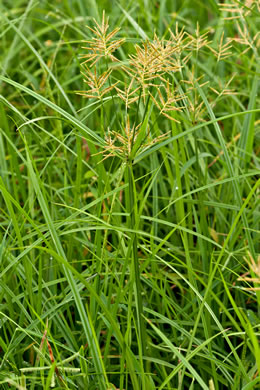 spikes: Cyperus esculentus +, Yellow Nutsedge, Yellow Nutgrass, Wild Chufa, Earth-almond