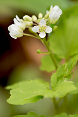 flower of Cardamine flagellifera +, Blue Ridge Bittercress