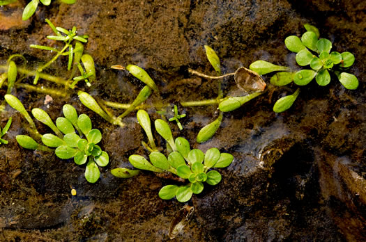 image of Callitriche heterophylla var. heterophylla, Waterstar, Common Water-starwort, Two-headed Water-starwort