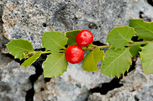 image of Crossopetalum ilicifolium, Holly-leaf Rhacoma, Christmasberry, Quailberry