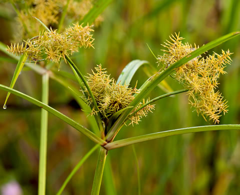 flower of Cyperus odoratus var. odoratus, Fragrant Flatsedge