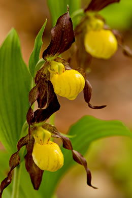 flower of Cypripedium parviflorum var. parviflorum, Small Yellow Lady's Slipper