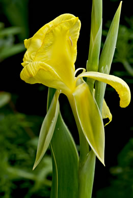 image of Canna flaccida, Golden Canna, Yellow Canna, Indian Shot