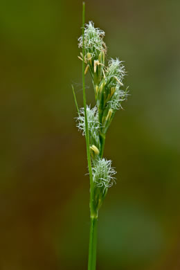 image of Carex longii, Long's Sedge