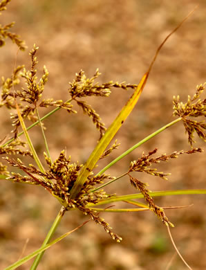 spikes: Cyperus iria, Rice-field Flatsedge