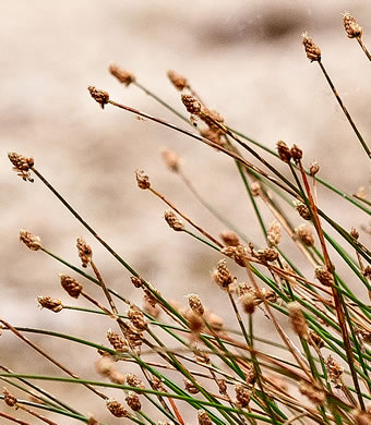 image of Eleocharis geniculata, Canada spikesedge, Bent spikerush