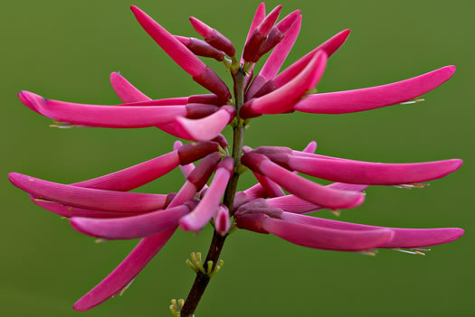 image of Erythrina herbacea, Coral Bean, Cardinal-spear