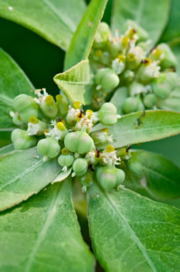 image of Euphorbia heterophylla, Fiddler's Spurge, Mexican Fireplant