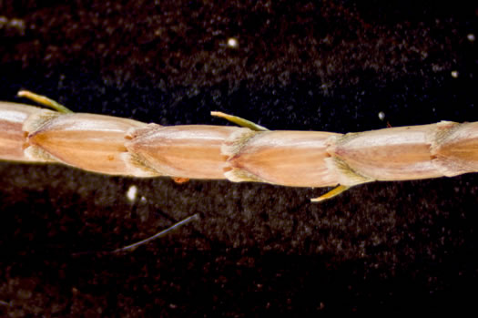 image of Eremochloa ophiuroides, Centipede Grass
