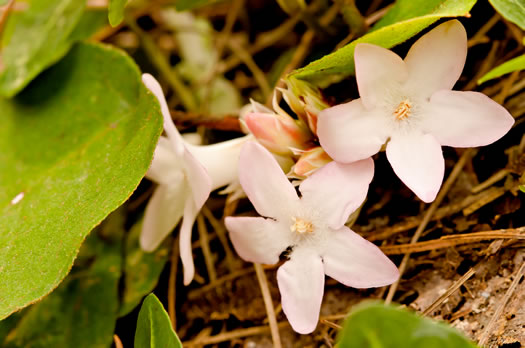 image of Epigaea repens, Trailing Arbutus, Mayflower