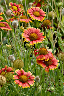 image of Gaillardia pulchella var. drummondi, Beach Blanket Flower, Gaillardia, Firewheel, Indian Blanket