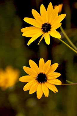 image of Helianthus agrestis, Southeastern Sunflower
