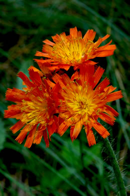 flower of Pilosella aurantiaca, Orange Hawkweed, Devil's Paintbrush, Orange King-devil