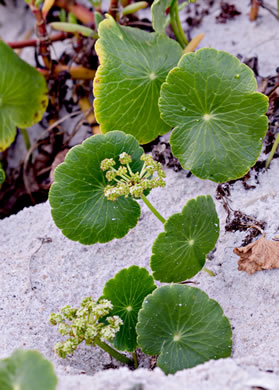 leaf or frond of Hydrocotyle bonariensis, Dune Pennywort, Seaside Pennywort, Dune Water-pennywort, Largeleaf Pennywort