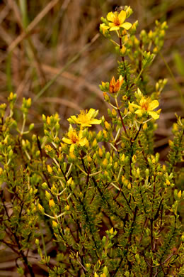 winged: Hypericum tenuifolium, Sandhill St. Johnswort, Atlantic St. Johnswort