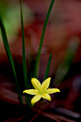 image of Hypoxis juncea, Fringed Stargrass