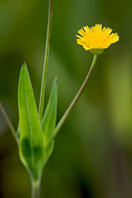 flower of Krigia cespitosa, Opposite-leaf Dwarf-dandelion