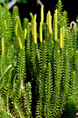 image of Spinulum annotinum, Stiff Clubmoss, Bristly Clubmoss