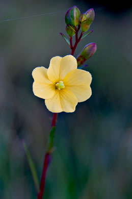 flower of Ludwigia maritima, Harper's Seedbox