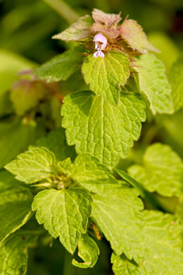image of Lamium purpureum, Purple Deadnettle, Red Deadnettle