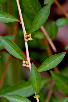 sepals or bracts of Ludwigia repens, Creeping Seedbox
