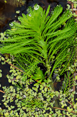 image of Myriophyllum aquaticum, Parrot-feather