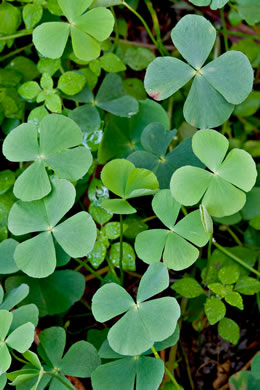 Marsilea minuta, Dwarf Waterclover, Small Waterclover