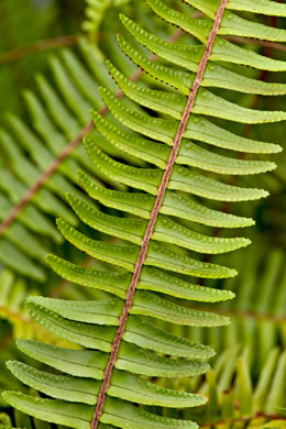 auricle: Nephrolepis cordifolia, Narrow Sword Fern, Tuber Sword Fern, Fishbone Fern, Ladder Fern