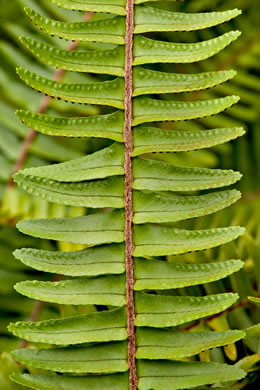 rachis: Nephrolepis cordifolia, Narrow Sword Fern, Tuber Sword Fern, Fishbone Fern, Ladder Fern