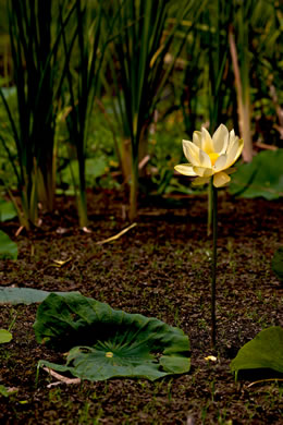 image of Nelumbo lutea, Yonkapin, American Lotus-lily, Yellow Nelumbo, Pond-nuts