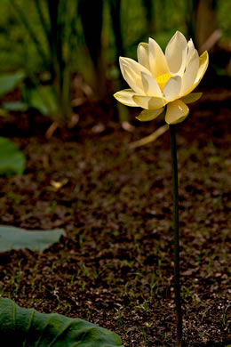 flower of Nelumbo lutea, Yonkapin, American Lotus-lily, Yellow Nelumbo, Pond-nuts