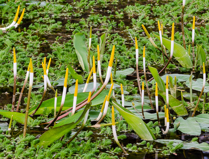 image of Orontium aquaticum, Golden Club, Never-wet, Bog Torches