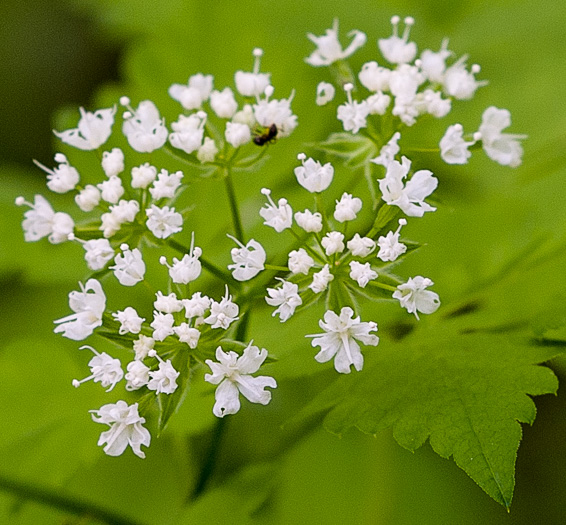 flower of Osmorhiza longistylis, Anise-root, Smooth Sweet Cicely