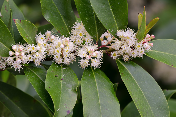 image of Prunus caroliniana, Carolina Cherry Laurel, Carolina Laurel Cherry