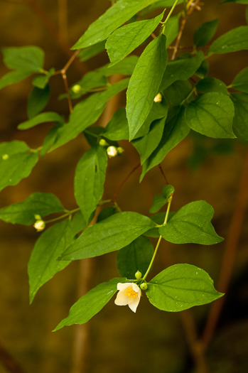 image of Philadelphus inodorus, Appalachian Mock-orange