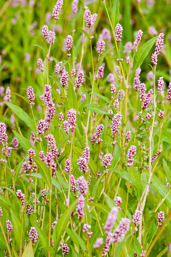 image of Persicaria maculosa, Lady's-thumb, Heart's-ease