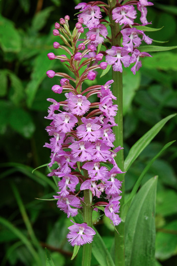 image of Platanthera psycodes, Small Purple Fringed Orchid, Butterfly Orchid, Lesser Purple Fringed Orchid