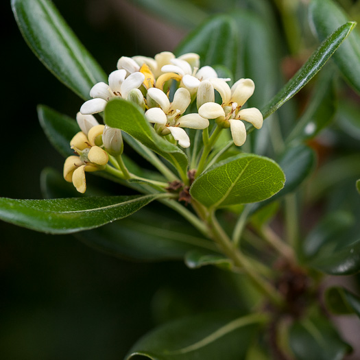 image of Pittosporum tobira, Japanese Pittosporum, Australian Laurel