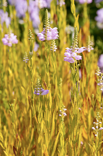 image of Physostegia virginiana ssp. virginiana, Northern Obedient-plant, False Dragonhead, Obedient-plant