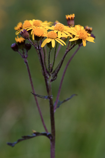 image of Packera aurea, Golden Ragwort, Heartleaf Ragwort