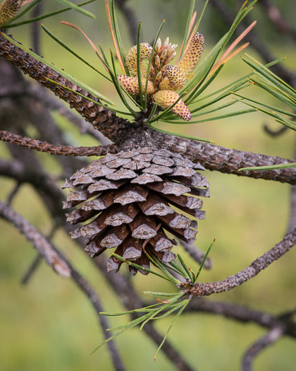 image of Pinus rigida, Pitch Pine