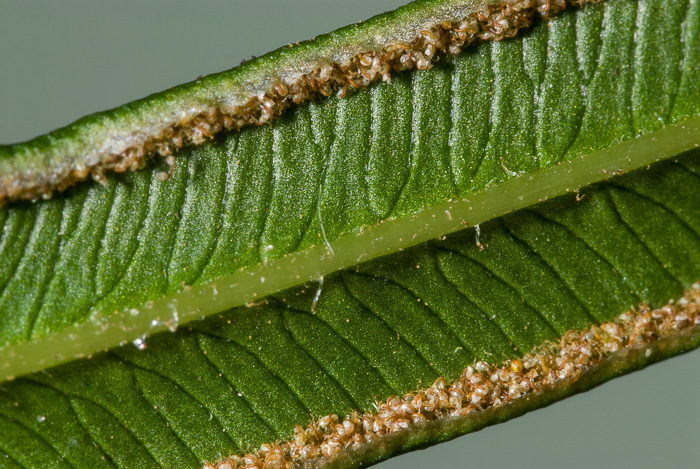 image of Pteris vittata, Ladder Brake