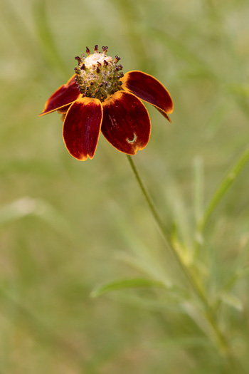 image of Ratibida columnifera, Mexican Hat, Columnar Prairie Coneflower, Upright Coneflower, Long-headed Coneflower