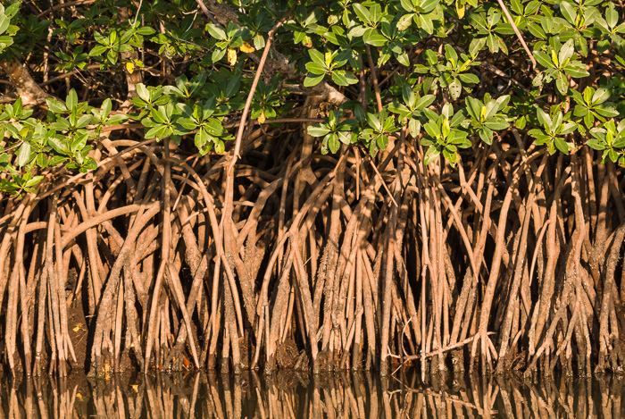 image of Rhizophora mangle, Red Mangrove